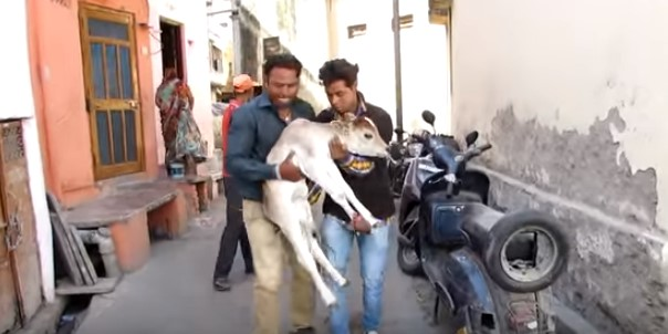 Те намериха малко теленце, което не можеше да ходи и беше ранено. Това, което направиха, трогна всички! (ВИДЕО)