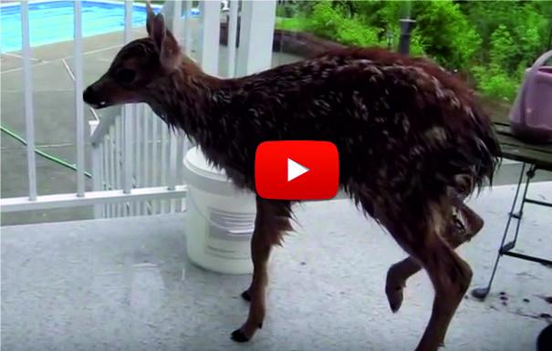 СТРАХОТНО БЛАГОРОДСТВО! Мъж спаси треперещото еленче от басейна. Но вижте какво стана минута по-късно! (ВИДЕО)
