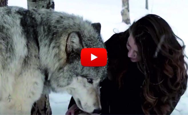 БРУТАЛНО! Тя не само не се уплаши от големия вълк, ами вижте как реагира той, когато я видя! (ВИДЕО)