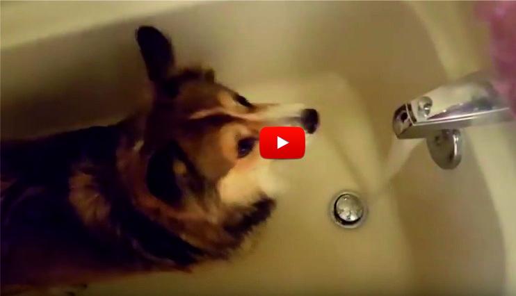"""Това СУПЕР СМЕШНО куче полудява от КЕФ, когато чуе думата """"ДУШ"""" (Shower) – ВИДЕО"""