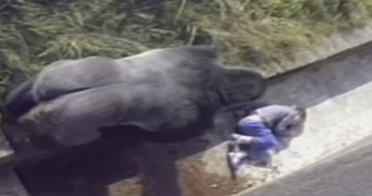 Дете пада в клетката на горилата! Реакцията на горилата остави хората с отворена уста! (ВИДЕО)