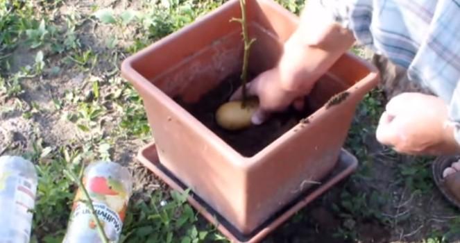 Няма нужда да сте градинари! Вижте колко е лесно да насадите роза и картоф! (ВИДЕО)