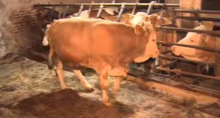 Какво се случи с бик, който дълго време беше завързан в тясна конюшня! Вижте как реагира, когато вече беше на свобода! (ВИДЕО)