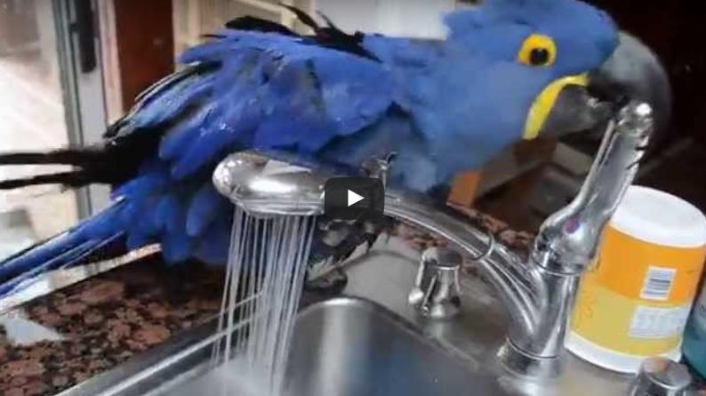 Този симпатичен папагал реши да се изкъпе под…ЧЕШМАТА! Но ВИЖТЕ КАКВО СЕ СЛУЧИ, когато притежателят му СПРЯ кранчето! (ВИДЕО)