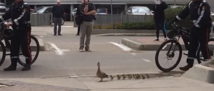 Патица пресича оживена улица с 12 малки патенца! Ще останете изенадани, като видите кой ги следва и пази! (ВИДЕО)