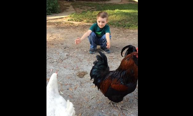 Колко трогателно! Малко момченце гушка кокошка! Вижте как реагира петелът! (ВИДЕО)