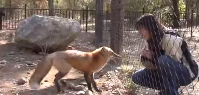 Вижте как реагира лисицата, когато се срещна със своята спасителка след месец! (ВИДЕО)