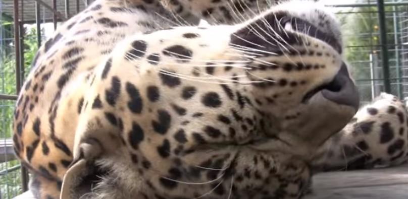 Мъжът влезе в клетката на леопарда. Никой не предполагаше как ще реагира той! (ВИДЕО)