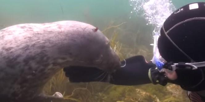 Ще се впечатлите от тези подводни кадри! Тюленът се приближи до водолаза и му показа нещо. Ще останете поразени, като разберете за какво го моли! (ВИДЕО)