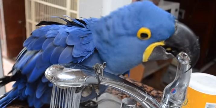 Този симпатичен папагал реши да се изкъпе под чешмата! Но вижте какво се случи, когато стопанинът му пипна кранчето! (ВИДЕО)