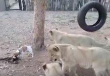 безстрашно куче