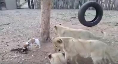 МАЛЪК ГЕРОЙ! Това кученце беше два пъти по-малко от лъвчетата, но успя да ги накара да стоят далеч от него! (ВИДЕО)