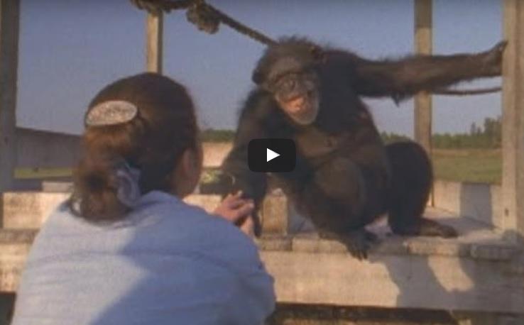 """Жената възкликна към шимпанзето: """"Хей, помниш ли ме?"""". Дори след 18 години то все още я помнеше. Вижте го как реагира! (ВИДЕО)"""