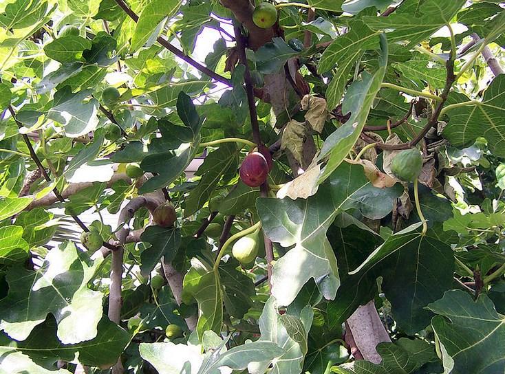 Евтин и ефикасен лек от природата: смокиновите листа ни предпазват от 5 масови болести, вижте кои!