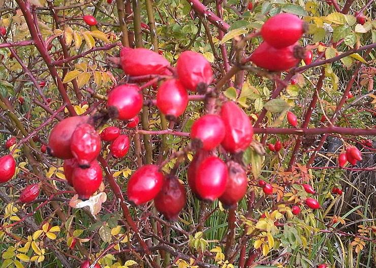 Не подминавайте шипковия храст, това е целебен еликсир, който ни гарантира здраве и любов