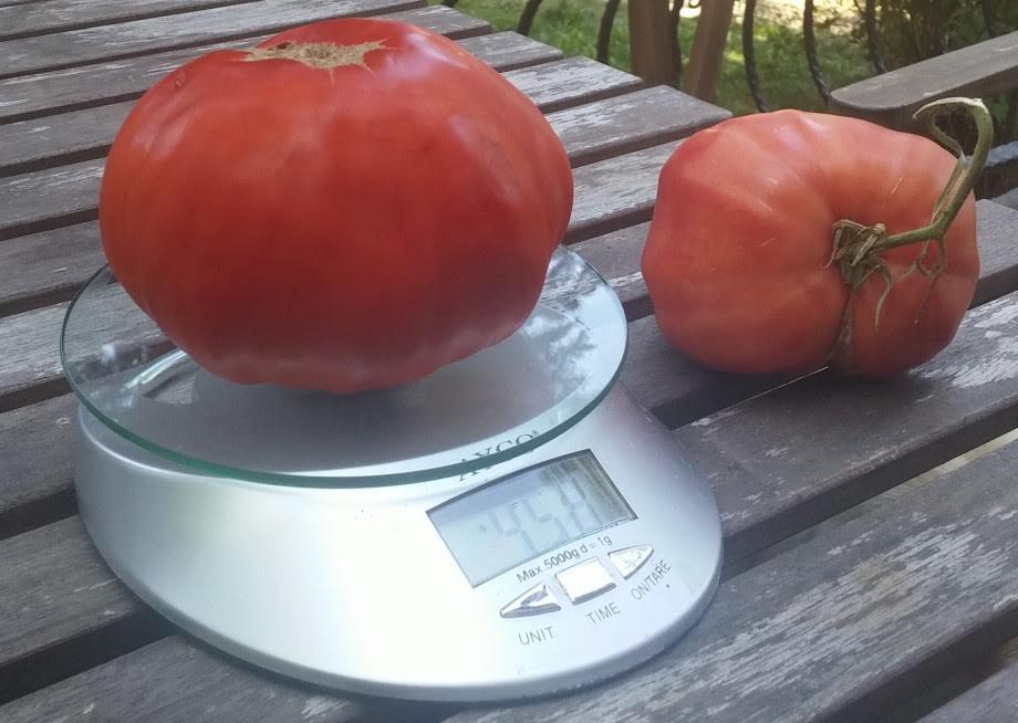 Как да отгледаме най-вкусните домати без химия? Наш читател разкри тайната! (СНИМКИ)