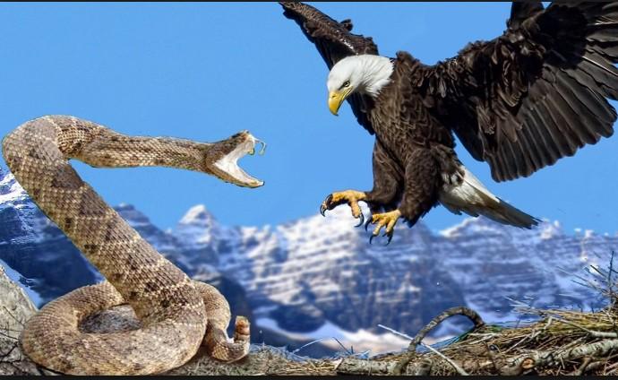 Вижте изумителните способности на орела! Птицата с инстинкт на убиец не се бои от сблъсък (ВИДЕО)