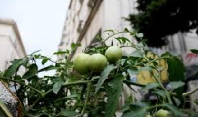 Нов хит в столицата: Домати вързаха пред министерство на пъпа на София