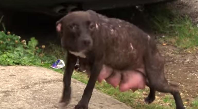 Когато това женско куче видя спасителния екип, тя веднага се доближи с надежда до тях! Но вижте какво намериха спасителите, когато се върнаха! (ВИДЕО)