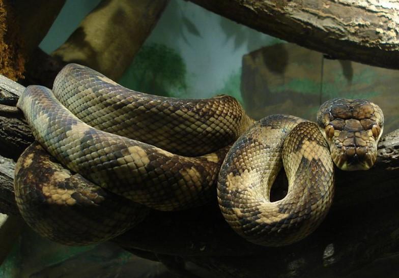 Питон спи в леглото на жена месеци наред. Змията отказвала да яде, а лекар разкрил разтърсващата истина