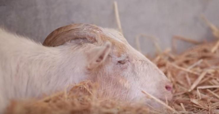 Тази симпатична коза отказа да яде и да се движи, защото тъгуваше по своя приятел! Вижте какво стана след 7 дни, когато той се появи (ВИДЕО)