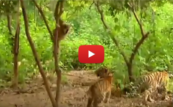 Маймунка гибон се среща с два хищника. Но със сигурност ще се спукате от СМЯХ, като видите реакцията им! (ВИДЕО)