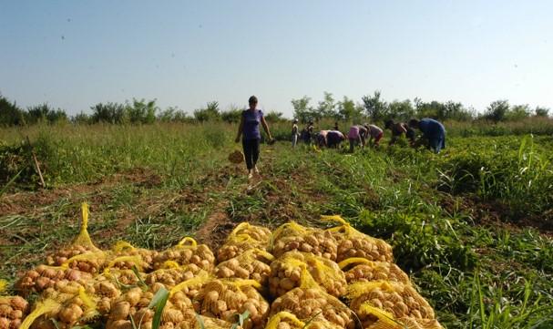 Звучи ви невероятно? Но е факт: ромско село дари цели 2 килограма картофи на бедни