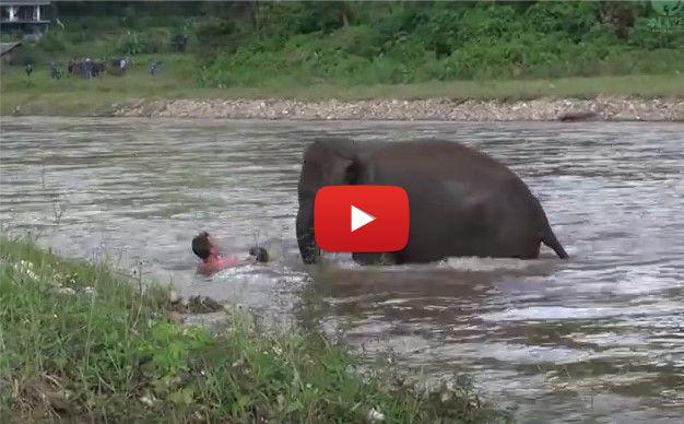 Слон СПАСЯВА човек от буйната река и му помага да се закрепи! РЕСПЕКТ! (ВИДЕО)