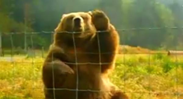 Тази мечка гризли като видя хората реагира неочаквано! Вижте сами реакцията й (ВИДЕО)