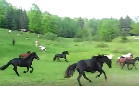 Няма нищо по-хубаво от това да видите свободно препускащи коне! Наследете се на гледката (ВИДЕО)