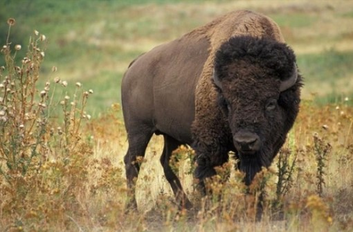 Учените са много близо да възстановят изчезнал древен вид едър рогат добитък