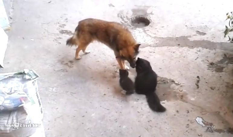 Майката на тези сладки котенца реши да ги срещне със стар приятел. Вижте какво се случи след това (ВИДЕО)