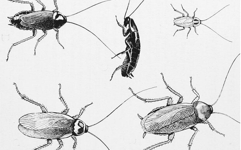 Как да се отървем от гадинки като домашната хлебарка?