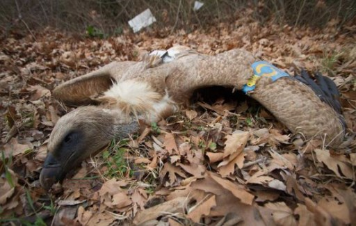 Докога? Варварски избиват белоглавите лешояди в Креснеското дефиле