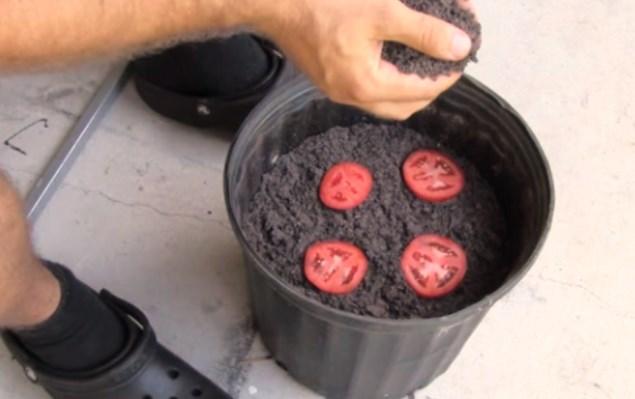 Той постави 4 резена домат в саксия и ги засипа с пръст. Това, което се случи след няколко дни ще ви опули (ВИДЕО)