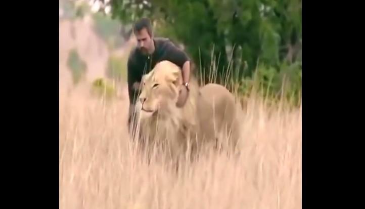 Този смелчага се престраши и се доближи до лъва. Нао реакцията на царя на животните ще ви изуми (ВИДЕО)