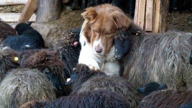 Каракачанското куче не се връща от бой с подвита опашка (СНИМКИ)