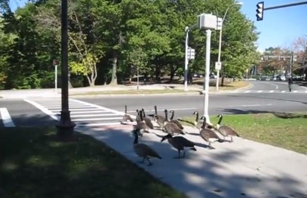 Очите ще ви останат върху екрана, когато видите какво направиха тези умни гъски (ВИДЕО)