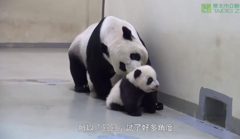 Гигантска панда-майка слага малкото си бебе да спинка (ВИДЕО)