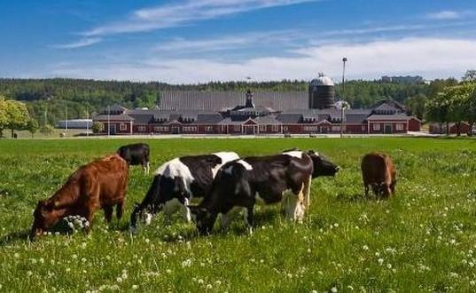 Експертите са безпомощни. Никой не може да обясни защо тези крави масово избират смъртта