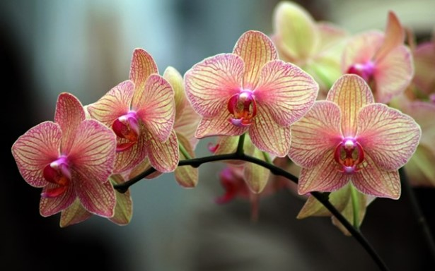 Ако искате орхидеята ви да цъфти три пъти повече, трябва да спазвате специален режим при поливането й