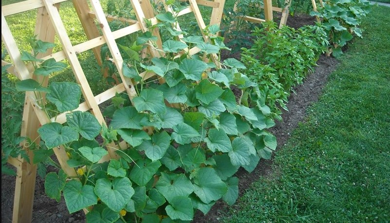 Помощ! Краставиците ми тази година са пълни с цвят, а плодовете липсват (ПРИЧИНИ)