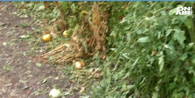 Градушка като орех обрули голям български град: Счупени покриви, паднали стълбове, унищожена реколта (ВИДЕО)