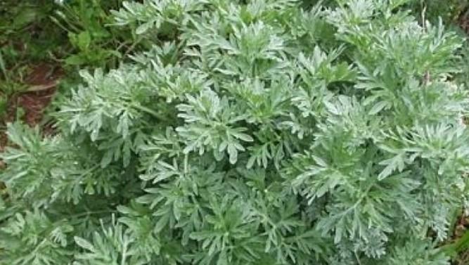 Растението, което газим като плевел е по-ценно от злато! Ето какви са лечебните му свойства!