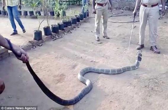 Кобрите всяват страх! Вижте обаче какво направи тази змия, която изуми всички (Видео)