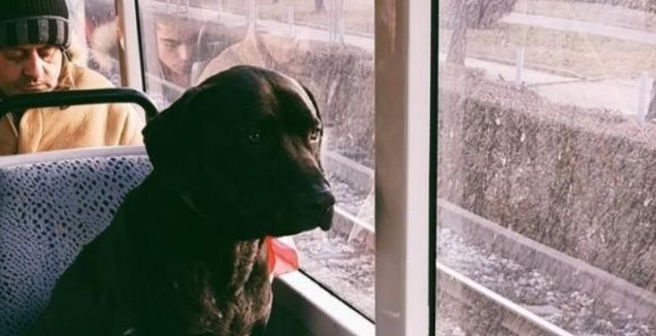 Това е най-тъжното куче в България: Всеки ден пътува с трамвая, за да търси стопанина си