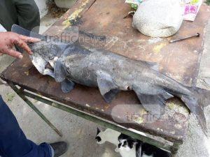 Откриха риба чудо на брега в Първенец! Цялото село цъка с език и се пита някой знае ли каква е? (УНИКАЛНИ СНИМКИ)