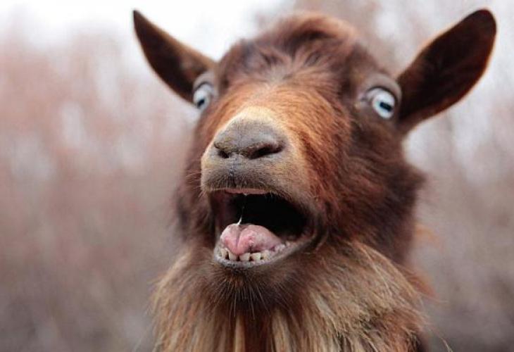 Пълен потрес: Бежанец изнасили козата Милена в Странджанско, пастирът го бие с гега и плаче