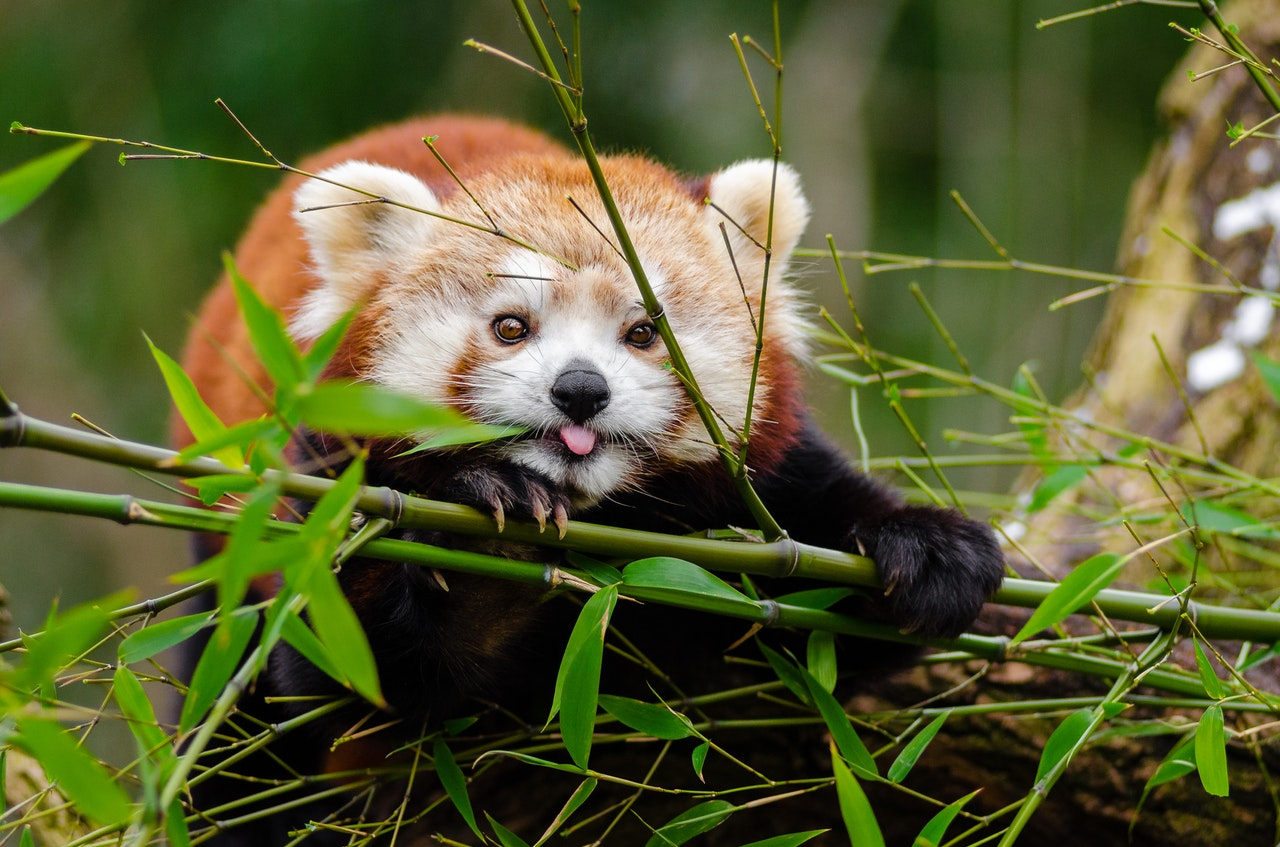 Червените панди не са това, което са. Вижте непознати истини за сладурите