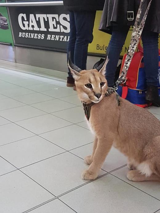 Хищен звяр се появи на Летище София! Пасажери и посрещачи онемяха (СНИМКИ)